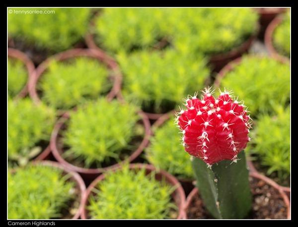 Cactus (4)