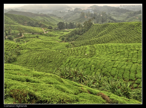 Cameron Highlands Boh Tea Plantation (10)