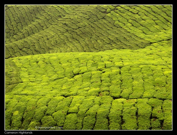 Cameron Highlands Boh Tea Plantation (11)