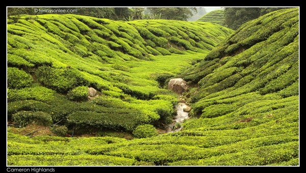 Cameron Highlands Boh Tea Plantation (12)