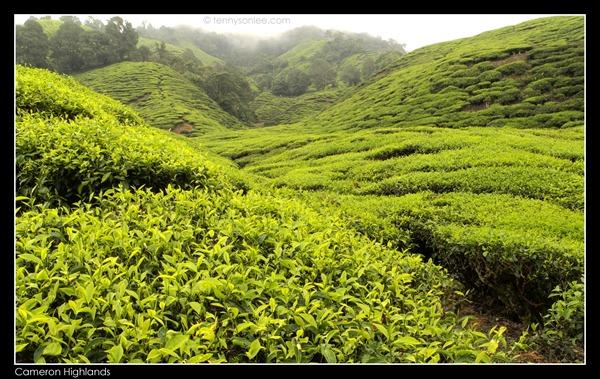 Cameron Highlands Boh Tea Plantation (14)