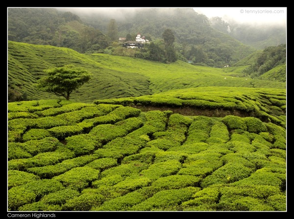 Cameron Highlands Boh Tea Plantation (15)