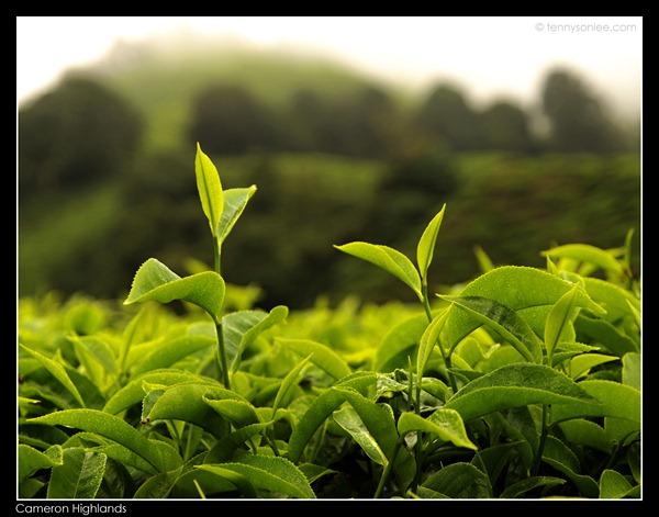 Cameron Highlands Boh Tea Plantation (16)