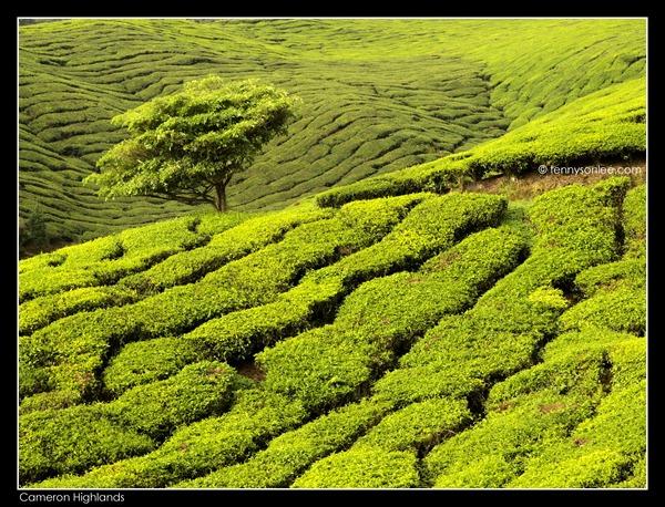 Cameron Highlands Boh Tea Plantation (17)