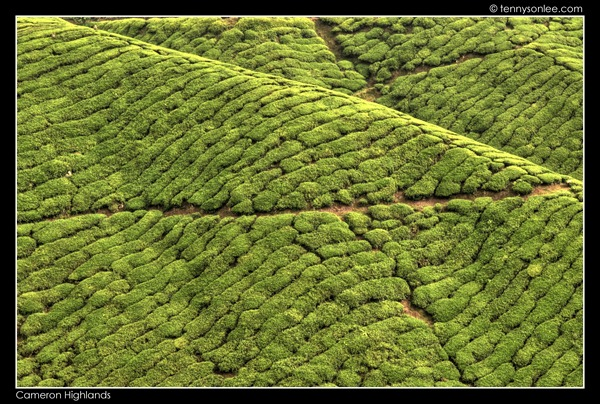 Cameron Highlands Boh Tea Plantation (18)