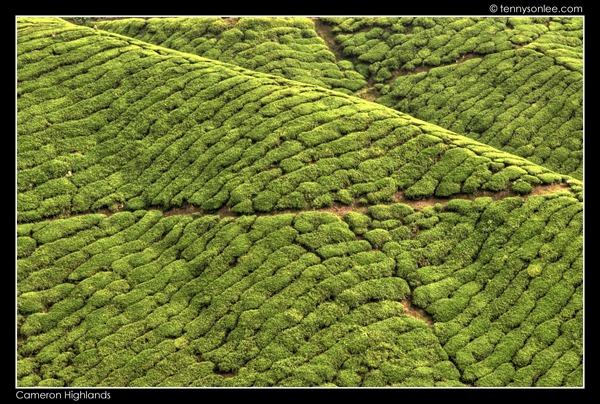 Cameron Highlands Boh Tea Plantation (18)