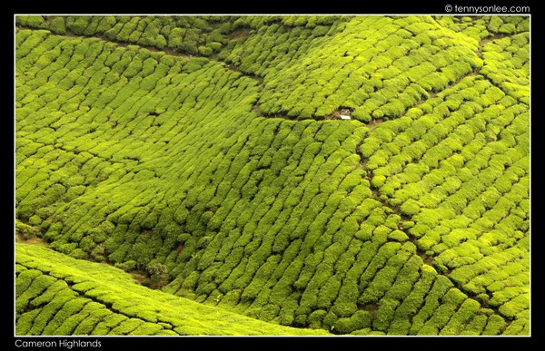 Cameron Highlands Boh Tea Plantation (19)