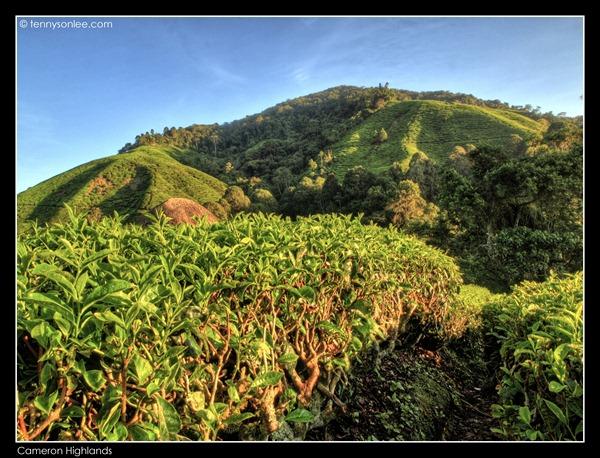 Cameron Highlands Boh Tea Plantation (4)