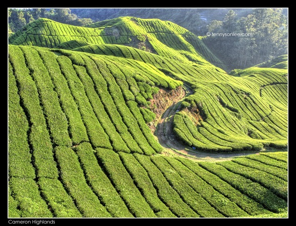 Cameron Highlands Boh Tea Plantation (5)