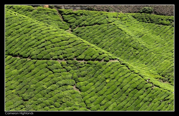 Cameron Highlands Boh Tea Plantation (9)