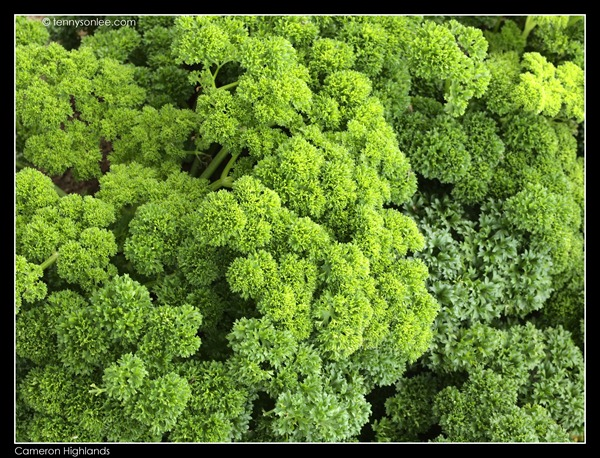 Cameron Highlands Crops (10)