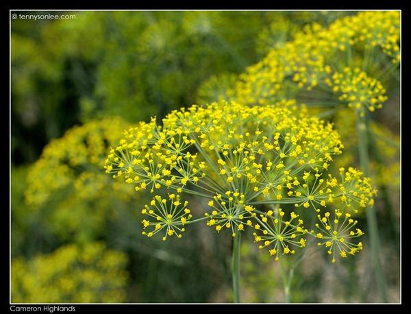 Cameron Highlands Crops (11)