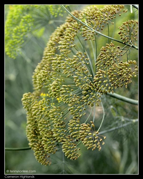 Cameron Highlands Crops (12)
