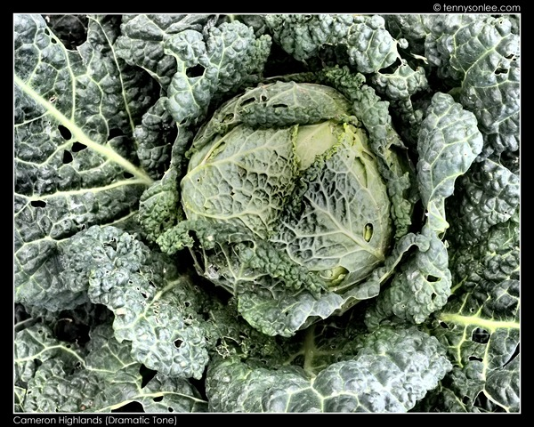 Cameron Highlands Crops (15)
