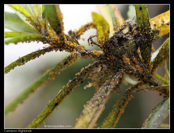 Cameron Highlands Crops (8)