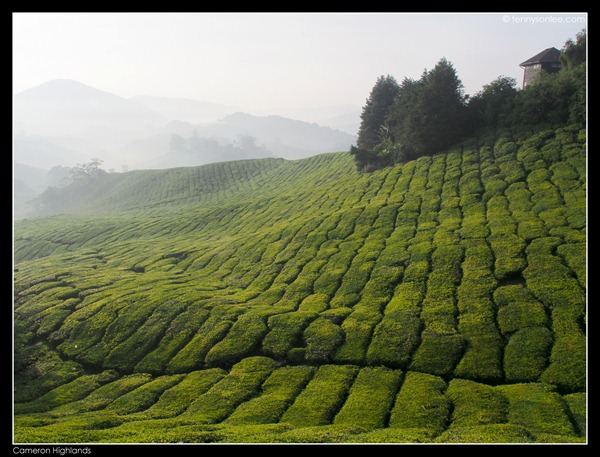 Cameron Highlands (11)