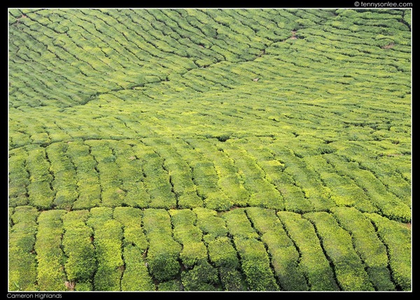 Cameron Highlands (6)