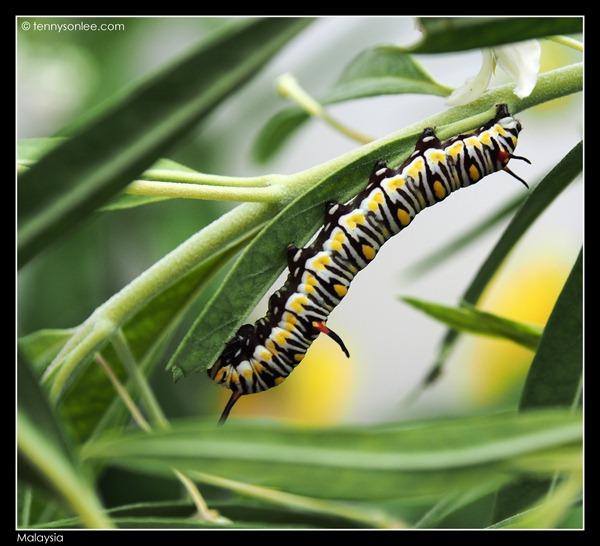 Malaysian bugs (1)