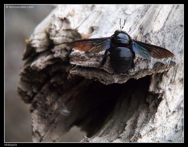 Malaysian bugs (2)