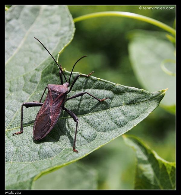 Malaysian bugs (4)
