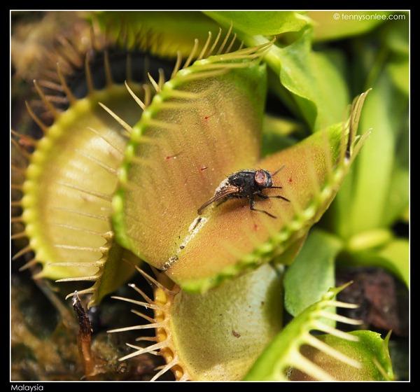 Malaysian bugs (5)