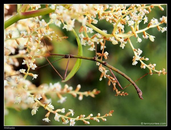 Malaysian bugs (6)