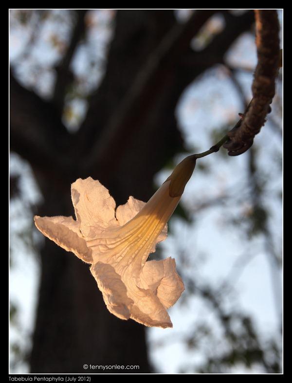 Tabebuia风铃木 (2)