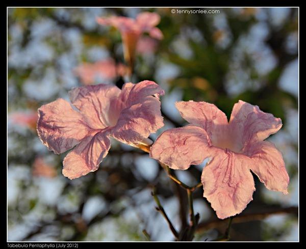 Tabebuia风铃木 (4)