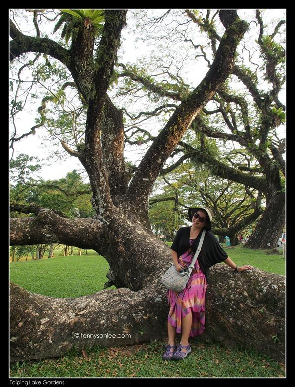 Rain Tree (1)
