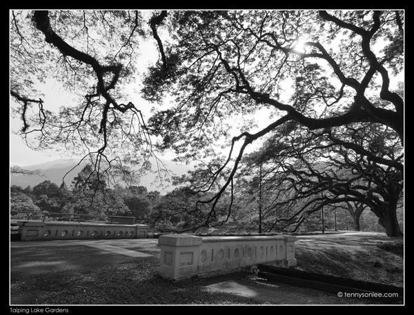 Rain Tree (2)