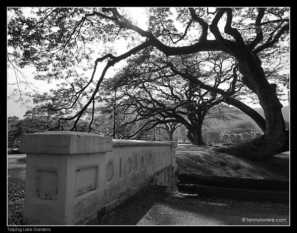 Rain Tree (3)
