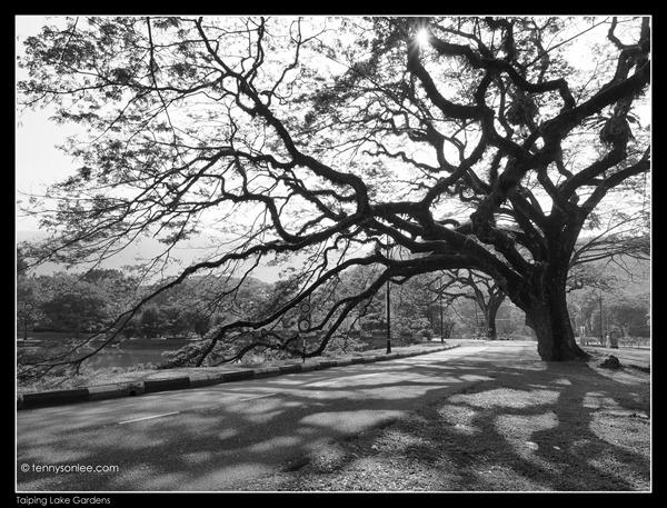 Rain Tree (4)