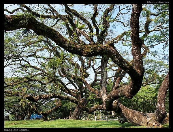 Rain Tree (6)
