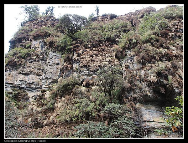 Deurali pass to Tadapani (14)