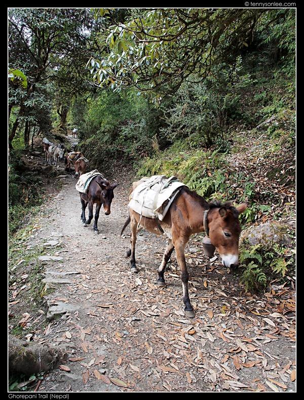Ghorepani Trail (20)