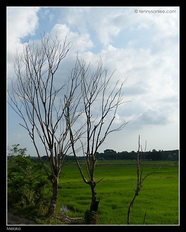Melaka Padi Field