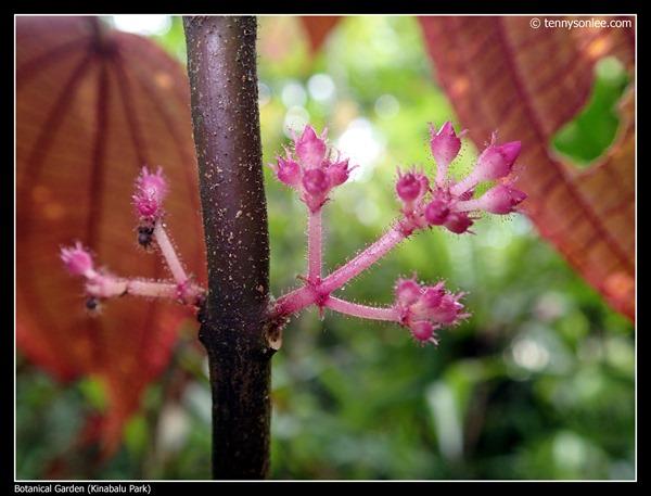 Kinabalu Park Botanical Garden (3)