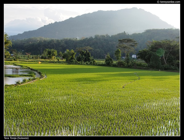 Paddy field at Tana Toraja (2)