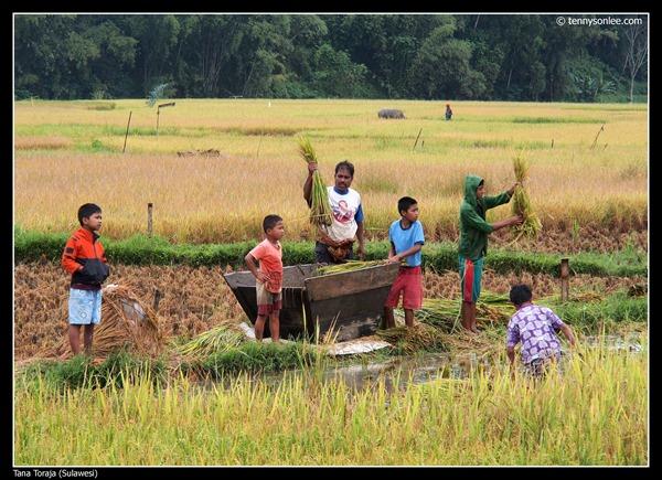Paddy field at Tana Toraja (3)