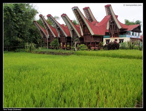 Paddy field at Tana Toraja (4)