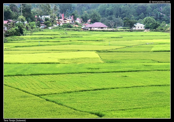 Paddy field at Tana Toraja (5)