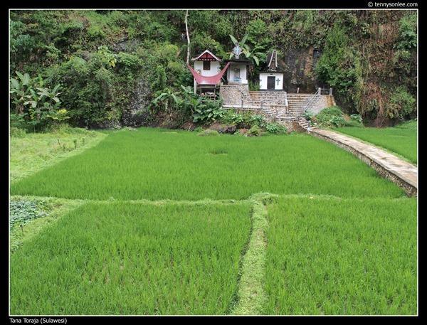 Paddy field at Tana Toraja (8)