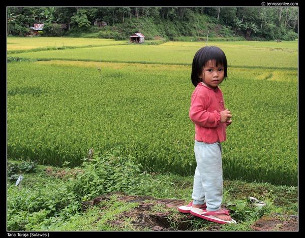 Paddy field at Tana Toraja (9)