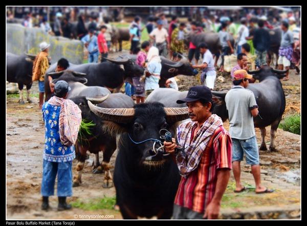 Pasar Bolu Buffalo Market (Tana Toraja) (12)