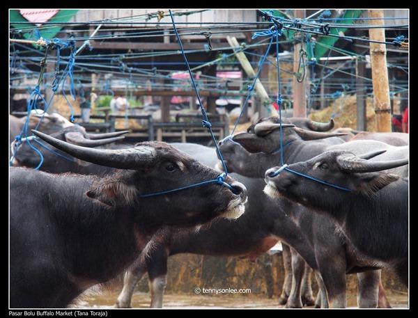 Pasar Bolu Buffalo Market (Tana Toraja) (3)