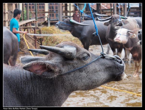 Pasar Bolu Buffalo Market (Tana Toraja) (5)