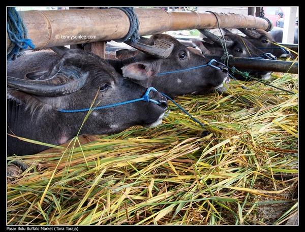 Pasar Bolu Buffalo Market (Tana Toraja) (6)