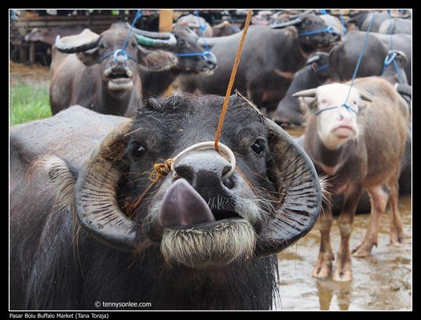 Pasar Bolu Buffalo Market (Tana Toraja) (8)