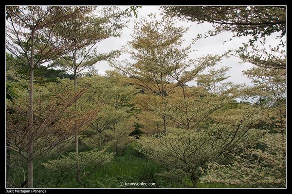 Buket Mertajam Spring Garden Restaurant (1) 大山脚春之乡树林