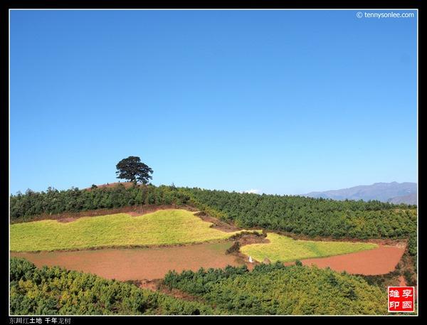 红土地千年龙树